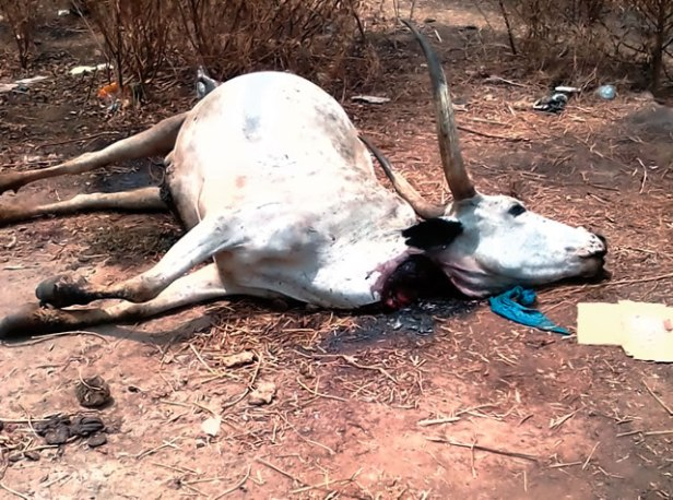 one-of-the-cows-allegedly-poisoned